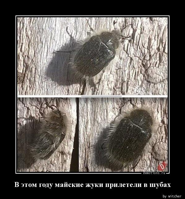 В этом году майские жуки прилетели в шубах