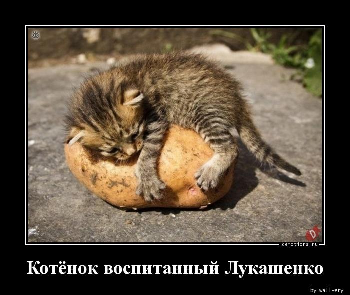 Котёнок воспитанный Лукашенко