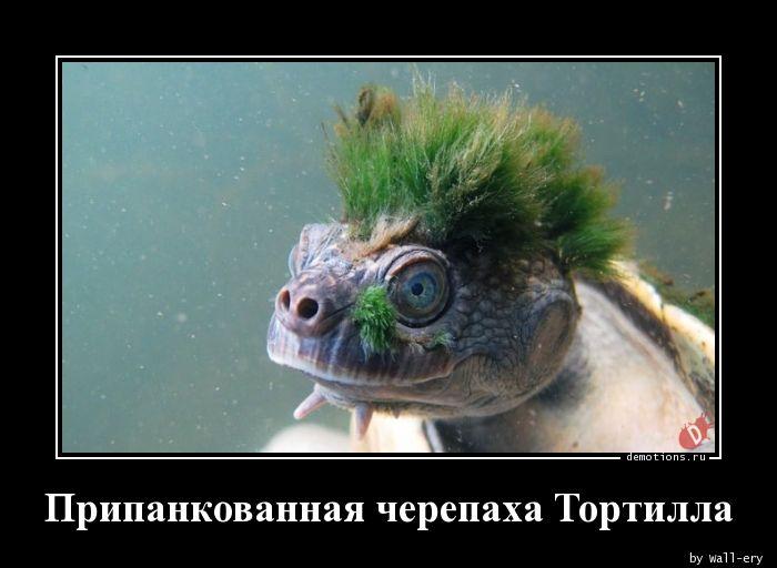 Припанкованная черепаха Тортилла