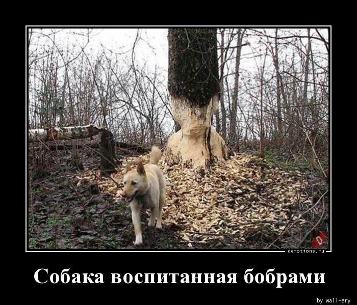 Собака воспитанная бобрами
