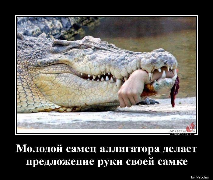 Молодой самец аллигатора делает  предложение руки своей самке