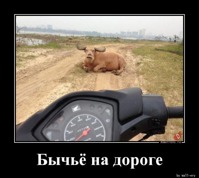 Бычьё на дороге