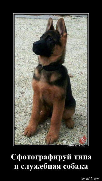 Сфотографируй типаnя служебная собака