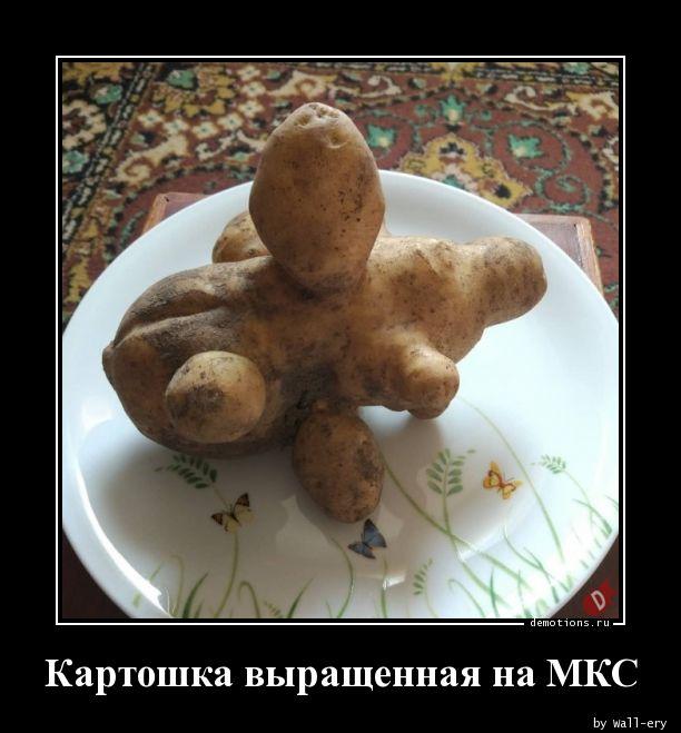 Картошка выращенная на МКС