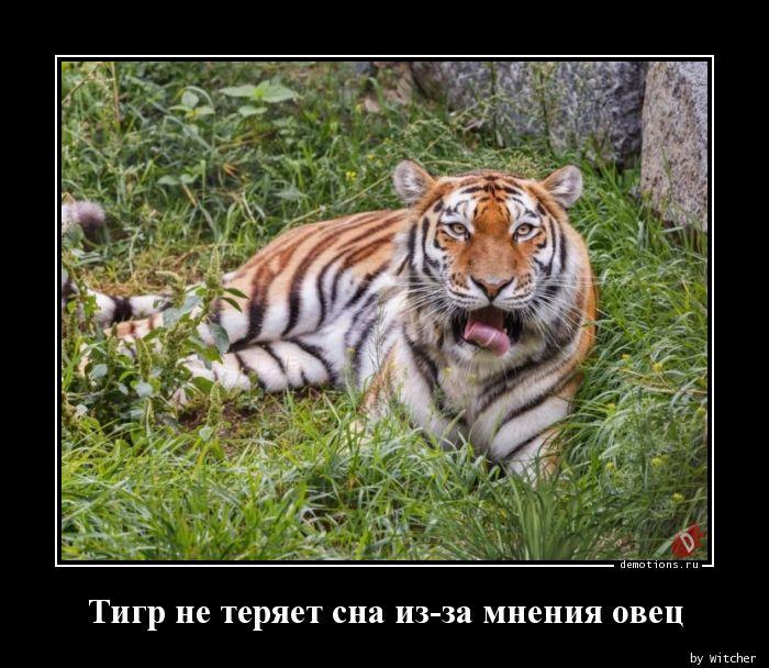 Тигр не теряет сна из-за мнения овец