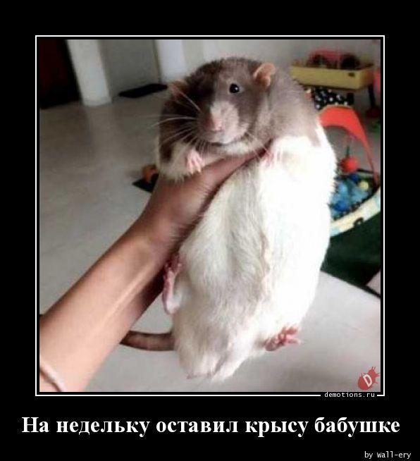 На недельку оставил крысу бабушке