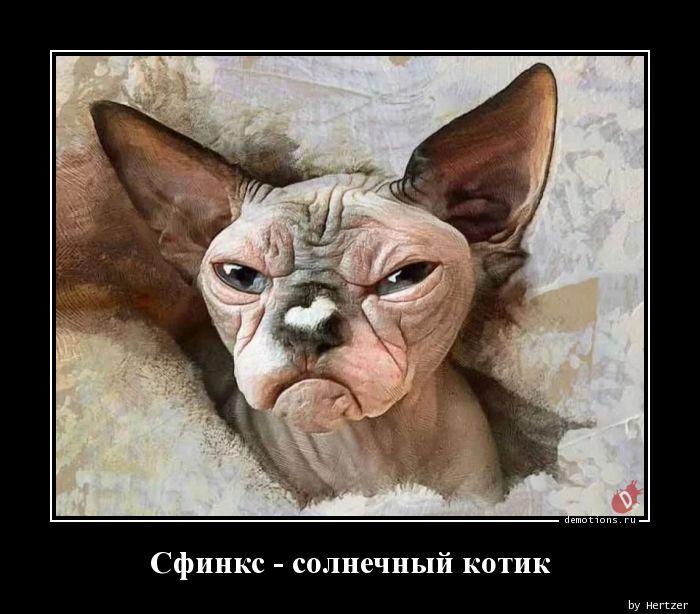 Сфинкс - солнечный котик