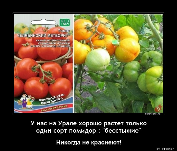 У нас на Урале хорошо растет только один сорт помидор :
